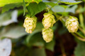 Close up green hop cones growing in nature - PhotoDune Item for Sale