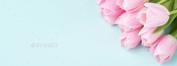 Banner with Pink Tulips on Blue Backgound. - Stock Photo - Images