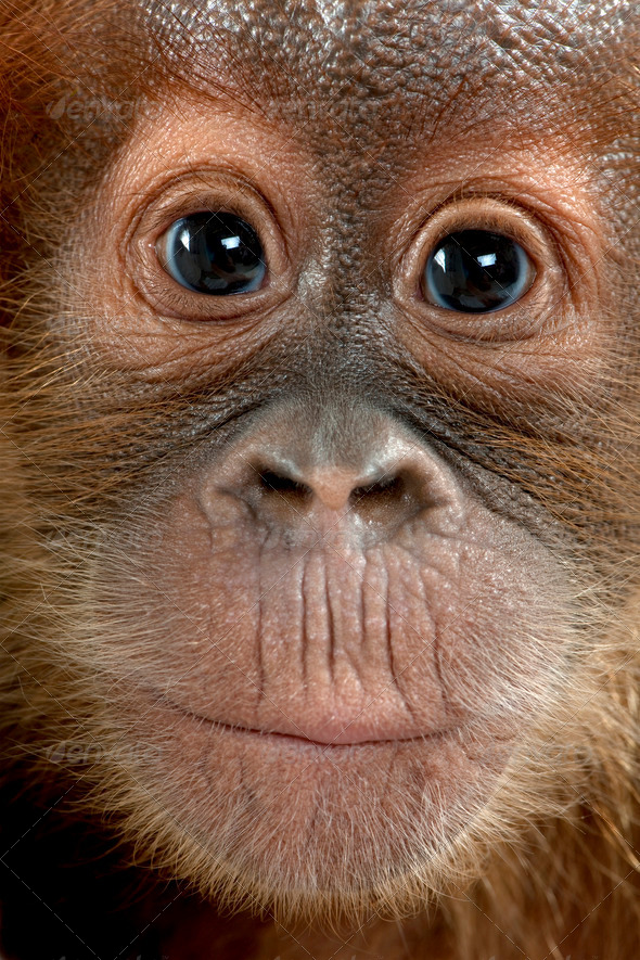 Close-up of baby Sumatran Orangutan, 4 months old - Stock Photo - Images