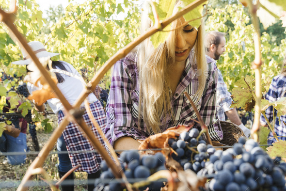 group of people harvesting grapes in a vineyard - Stock Photo - Images