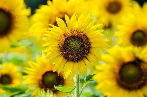 Sunflower or Helianthus Annuus in the farm - Stock Photo - Images
