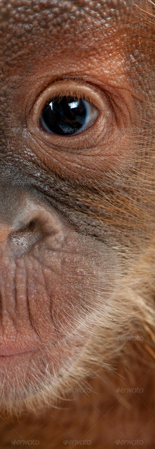 Panoramic close-up of baby Sumatran Orangutan, 4 months old - Stock Photo - Images