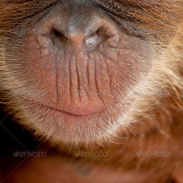 Close-up of baby Sumatran Orangutan's nose and mouth, 4 months old - Stock Photo - Images
