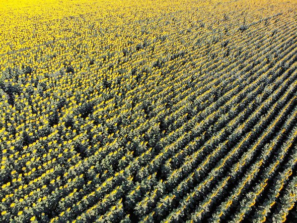 Top view rows of sunflowers in field - Stock Photo - Images