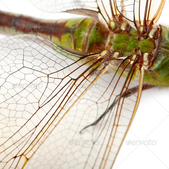 Close-up of old Emperor dragonfly, Anax imperator, in front of white background - Stock Photo - Images