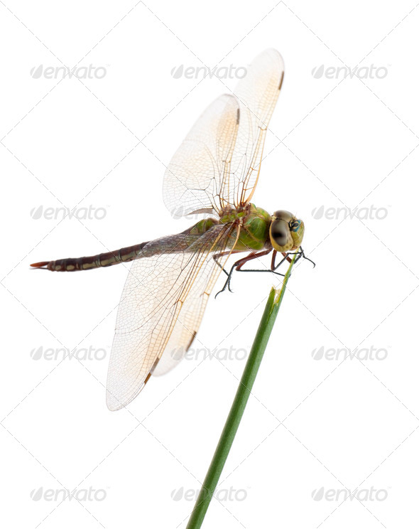 Old Emperor dragonfly, Anax imperator, on blade of grass in front of white background - Stock Photo - Images