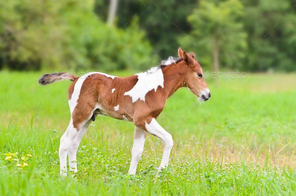 Cute Baby Horse Walking In The Meadow Stock Photo By Yongkiet Photodune
