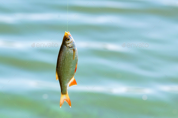 Close up single common rudd fish on hook. Fishing concept - Stock Photo - Images