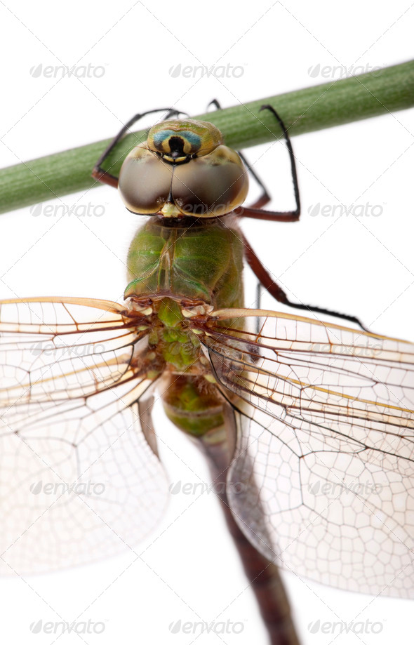 Close-up of old Emperor dragonfly, Anax imperator, on blade of grass in front of white background - Stock Photo - Images