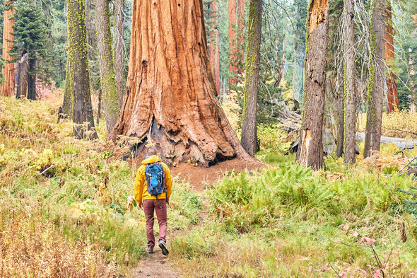 Tourist with backpack hiking in Sequoia National Park - Stock Photo - Images
