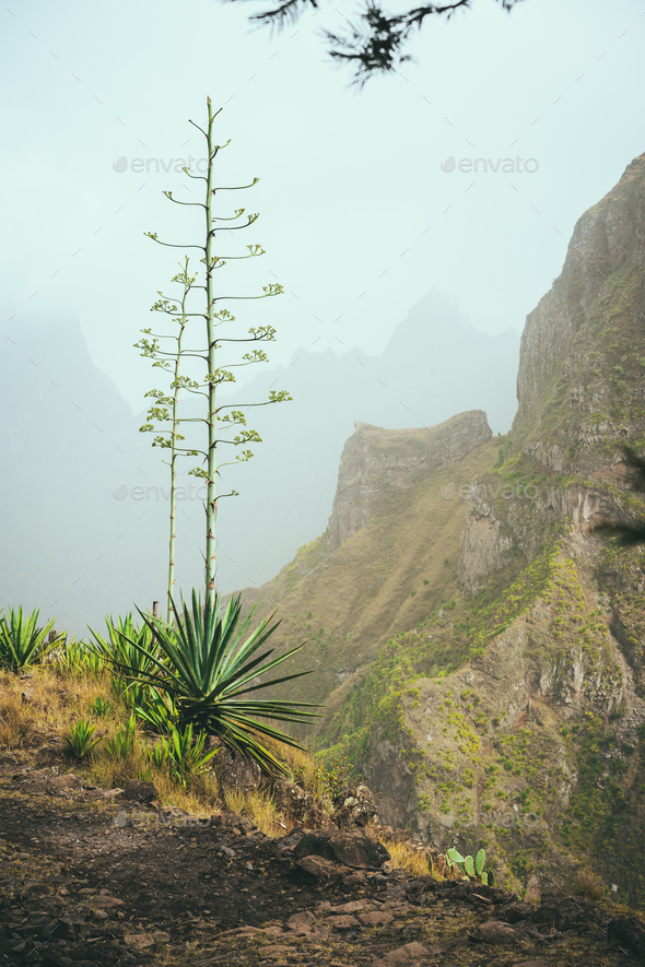 Blossom flower of Agave on the path edge hight in mountains. Santo Antao Island, Cape Verde Cabo - Stock Photo - Images