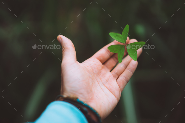 Exotic green clover leave in a man hand palm - Stock Photo - Images