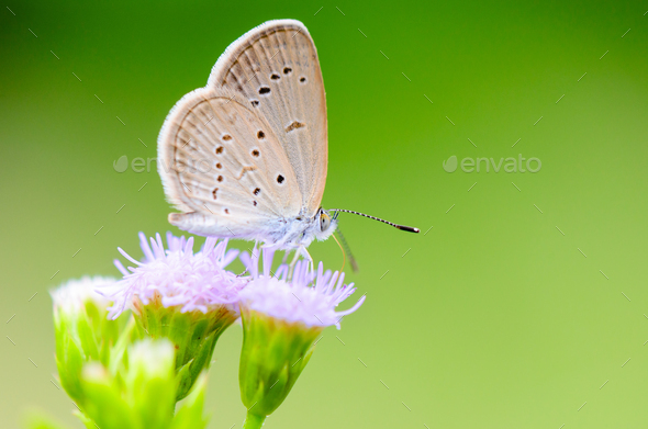 Close up small brown butterfly ( Tiny Grass Blue ) - Stock Photo - Images