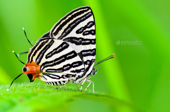 Club Silverline or Spindasis syama terana butterfly resting on a - Stock Photo - Images
