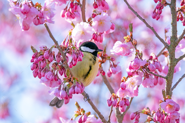 Great tit bird in a pink flowering cherry tree - Stock Photo - Images
