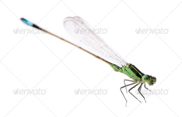 Dragonfly, Coenagrionidae, in front of white background, studio shot - Stock Photo - Images