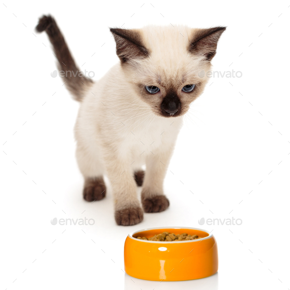 Small Siamese kitten and food bowl - Stock Photo - Images