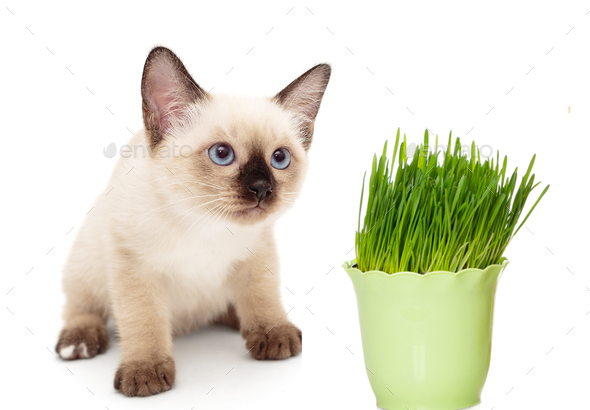 Kitten with a pot of green grass - Stock Photo - Images