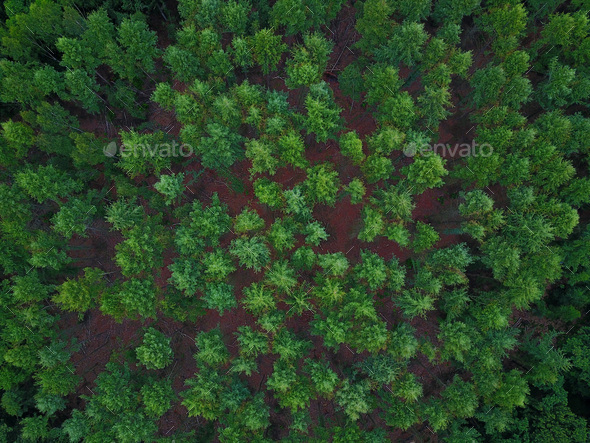 Pine trees from above - Stock Photo - Images