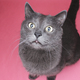 Grey Cat Sitting On The Pink Background - PhotoDune Item for Sale