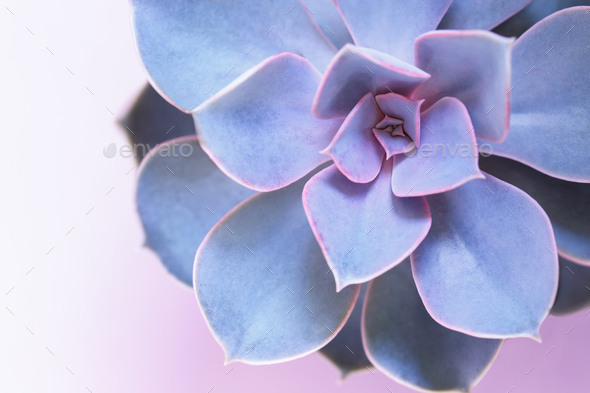 Purple succulent close up - Stock Photo - Images