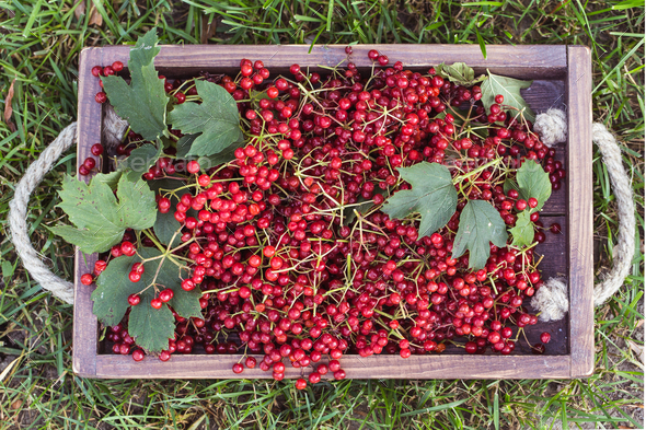 Viburnum berries with bunches. - Stock Photo - Images