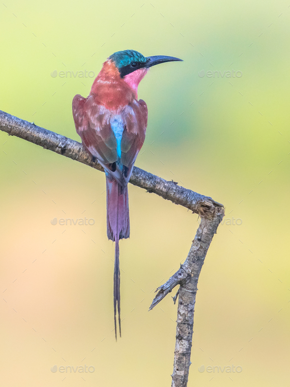 Southern carmine bee eater - Stock Photo - Images