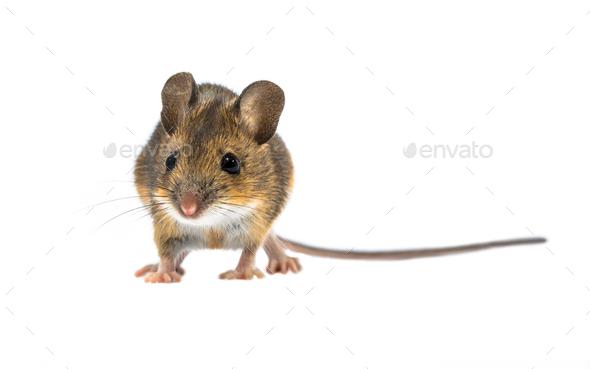 Cute mouse isolated on white background - Stock Photo - Images