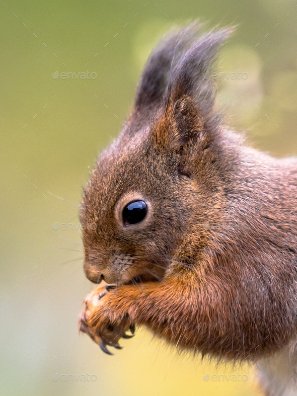 Red squirrel portrait side view - Stock Photo - Images