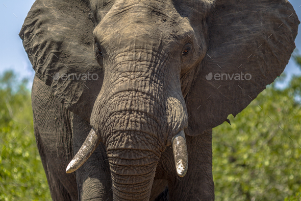 Portrait of African Elephant - Stock Photo - Images