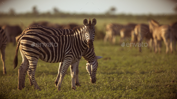 Common Zebras foraging - Stock Photo - Images