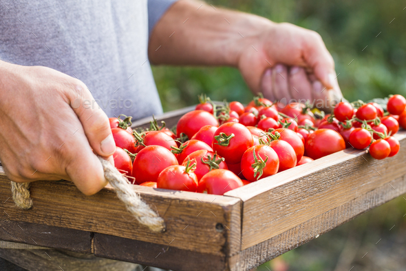 Farmers holding fresh tomatoes. - Stock Photo - Images