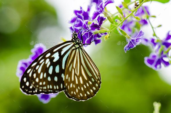 Close up Blue Tiger butterfly or Tirumala hamata - Stock Photo - Images