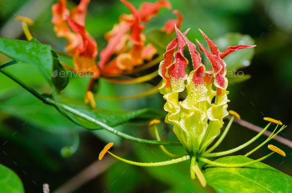 Gloriosa Superba or Climbing Lily flower - Stock Photo - Images