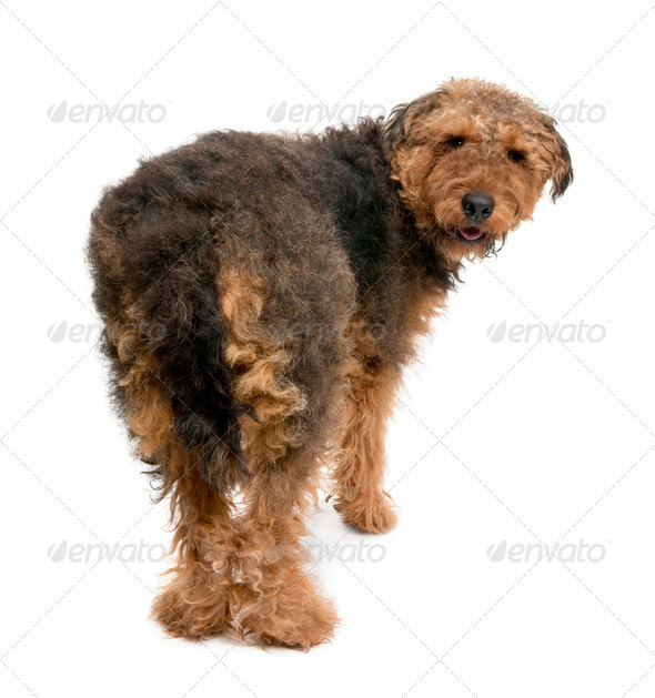 Rear view of Airedale dog, 1 year old, standing in front of a white background - Stock Photo - Images
