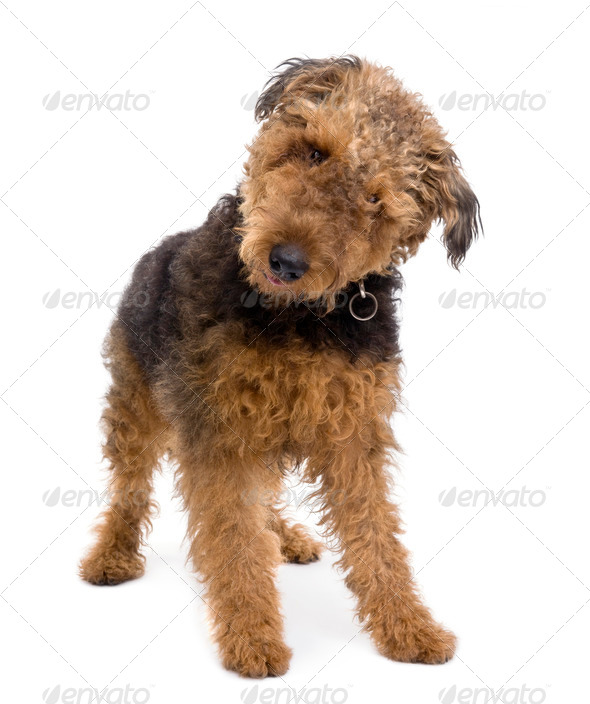 Airedale, 1 year old, standing in front of a white background, studio shot - Stock Photo - Images