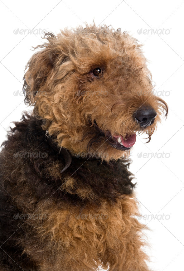 Airedale, 1 year old, sitting in front of a white background, studio shot - Stock Photo - Images