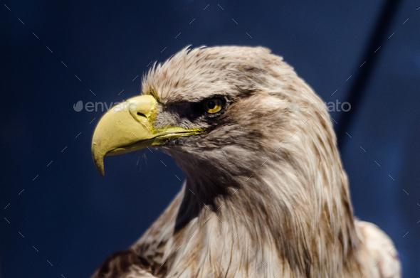 An eagle portrait - Stock Photo - Images