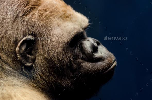 portrait of a gorilla - Stock Photo - Images