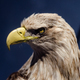An eagle portrait - PhotoDune Item for Sale