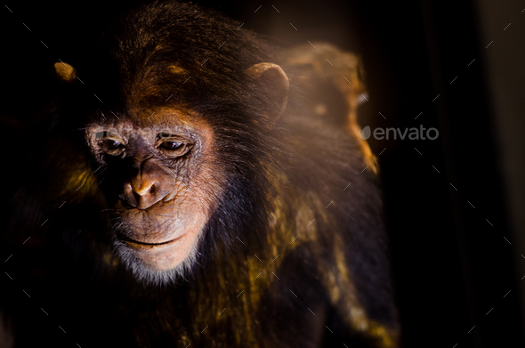 sad chimpanzee - Stock Photo - Images