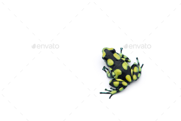 The poison dart frog isolated on white background - Stock Photo - Images