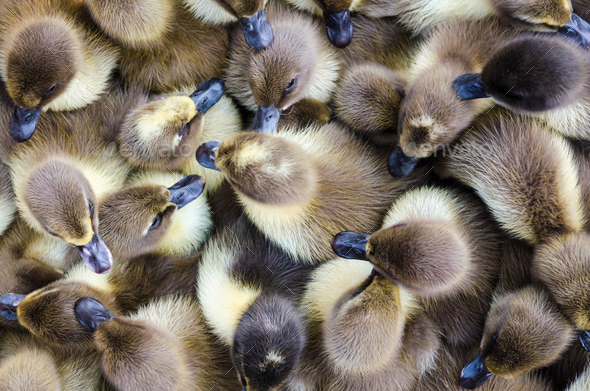 Ducklings for sale - Stock Photo - Images