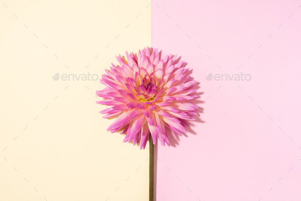 Pink dahlia flower on pastel yellow background. Top view. Flat lay. Copy space. Creative minimalism - Stock Photo - Images