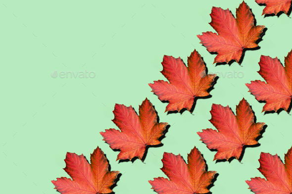 Creative layout of colorful autumn leaves. Banner with red maple leaves pattern on mint background - Stock Photo - Images