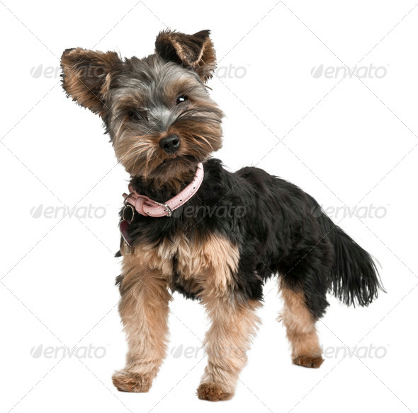 Yorkshire puppy, 8 months old, sitting in front of a white background, studio shot - Stock Photo - Images