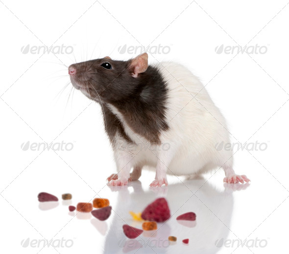 Rat, 1 year old, standing in front of a white background with food, studio shot - Stock Photo - Images