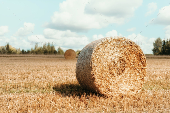 Harvested field with straw bales. Agriculture background with copy space. Summer and autumn harvest - Stock Photo - Images