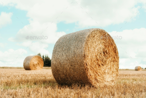 Agriculture background with copy space. Harvested field with straw bales. Summer and autumn harvest - Stock Photo - Images