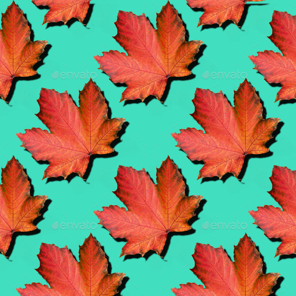 Golden autumn concept. Sunny day, warm weather. Red maple leaf on mint turquoise background with - Stock Photo - Images
